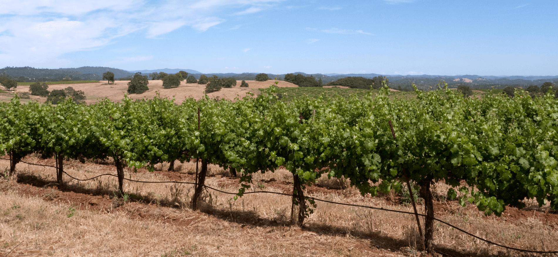 A sprawling California vineyard on a sunny day.