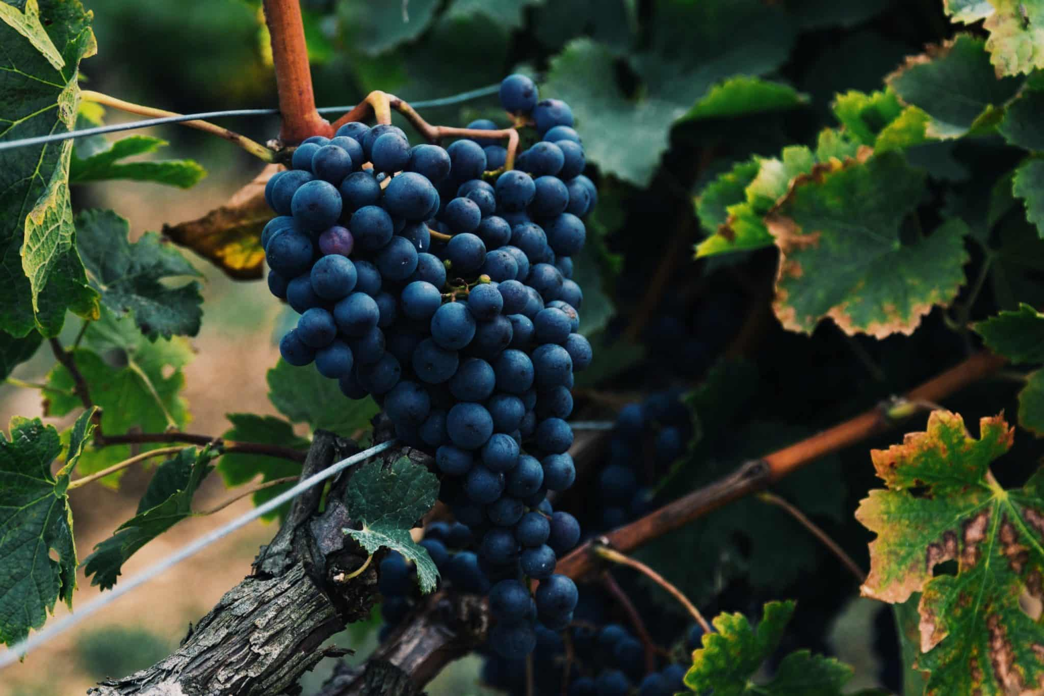 Blue plum grapes growing on a vine
